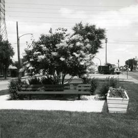 Japanese lilac tree on median of Provencher Boulevard