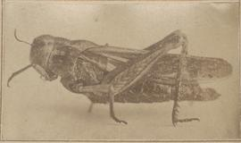 Monster Grasshopper, 1875